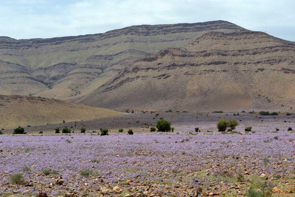die Wüste blüht balu