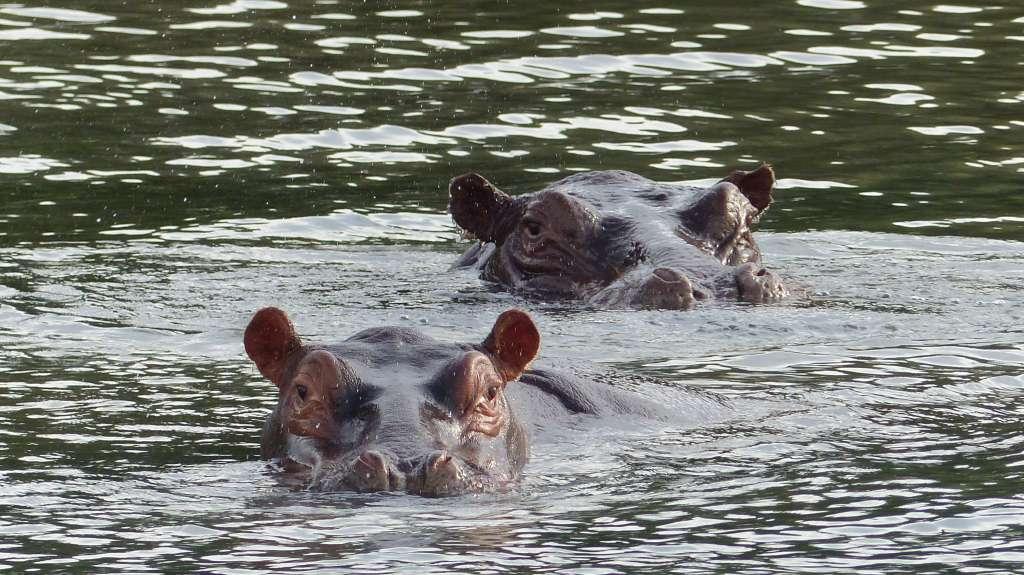 Auge in Auge mit den Hippos
