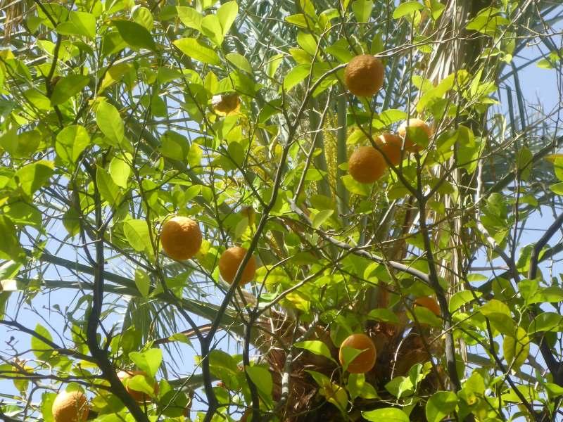 unter Orangenbäumen